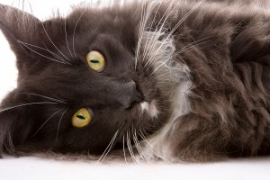 Malley-maine-coon-liggende-close-up