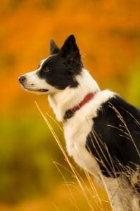 Macey-border-collie-profil_1365x2048