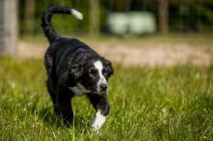 Maggie-australian-shepherd_2048x1365