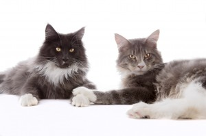 Murphy-Malley-maine-coon-holde-pote_2048x1365
