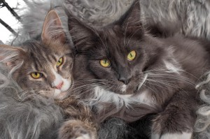 Murphy-Malley-maine-coon-hygge-stol_2048x1365