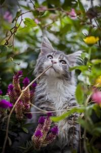Murphy-maine-coon-blomsterbarn_1365x2048