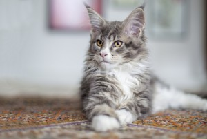 Murphy-maine-coon-liggende_2048x1383 (1)